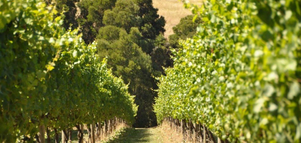 vincotto vinocotto IL Baronello vineyard